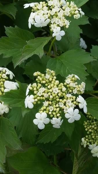 Viburnum Opulus Compactum flowering - for sale online UK delivery