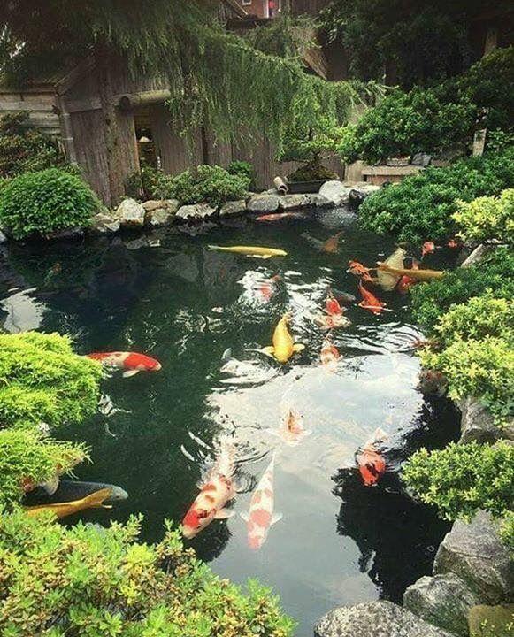 570 best koi pond images on pinterest backyard ponds for Koi fish farm near me