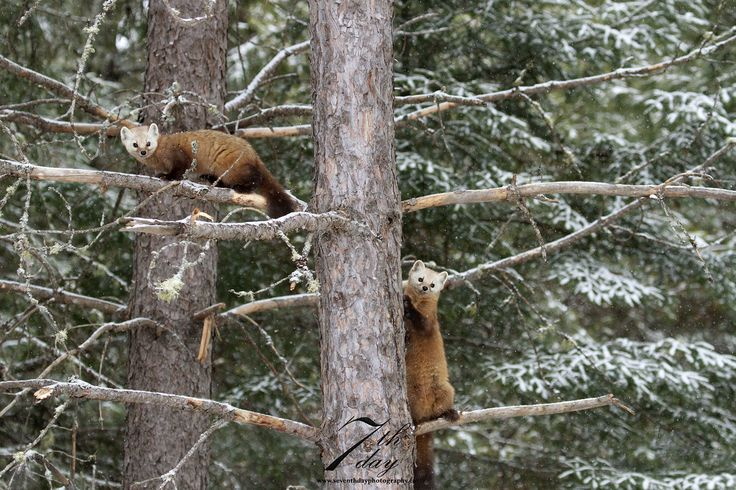 Two pine martens in a tree - Algonquin Provincial Park