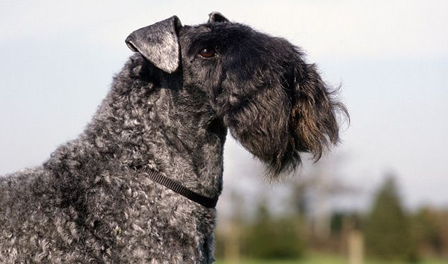 Everything you want to know about Kerry Blue Terriers, including health problems, personality, and more.