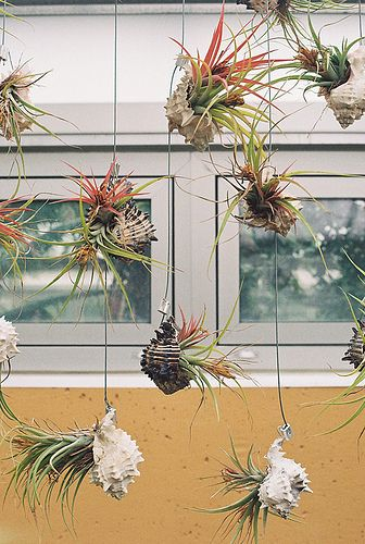 """String gardens made with shells. """"air plants"""""""