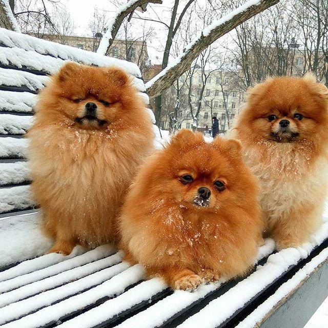 #Зимние шпицы, Макс, Ася,Бэтти#
