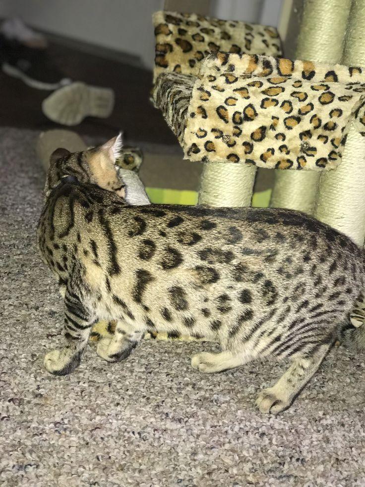 Pin by Camilla Garza on Bengal cats ( Bagheera) Bengal cat