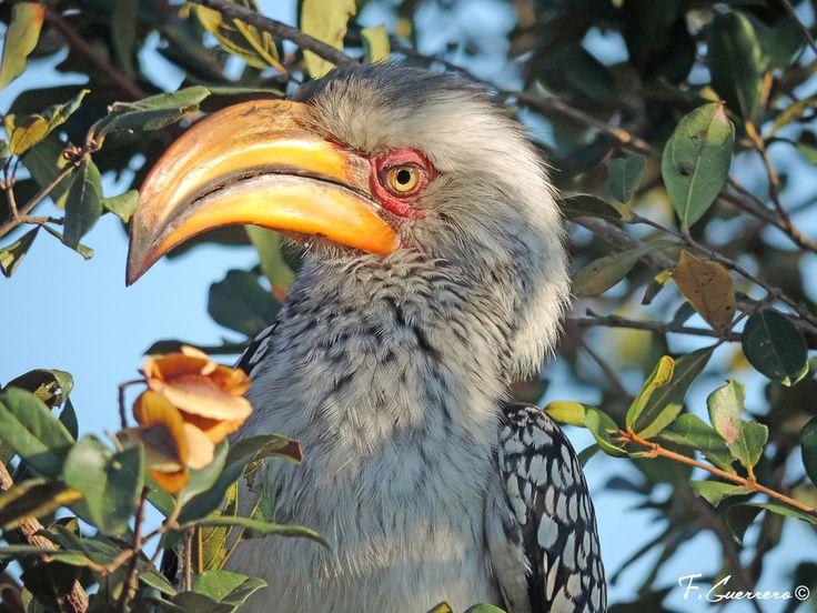 Toco piquigualdo sureño (Tockus leucomelas) fotografiado en el Kruger, Sudáfrica. Naturaleza a vista de Pájaro, blog de naturaleza y viajes.