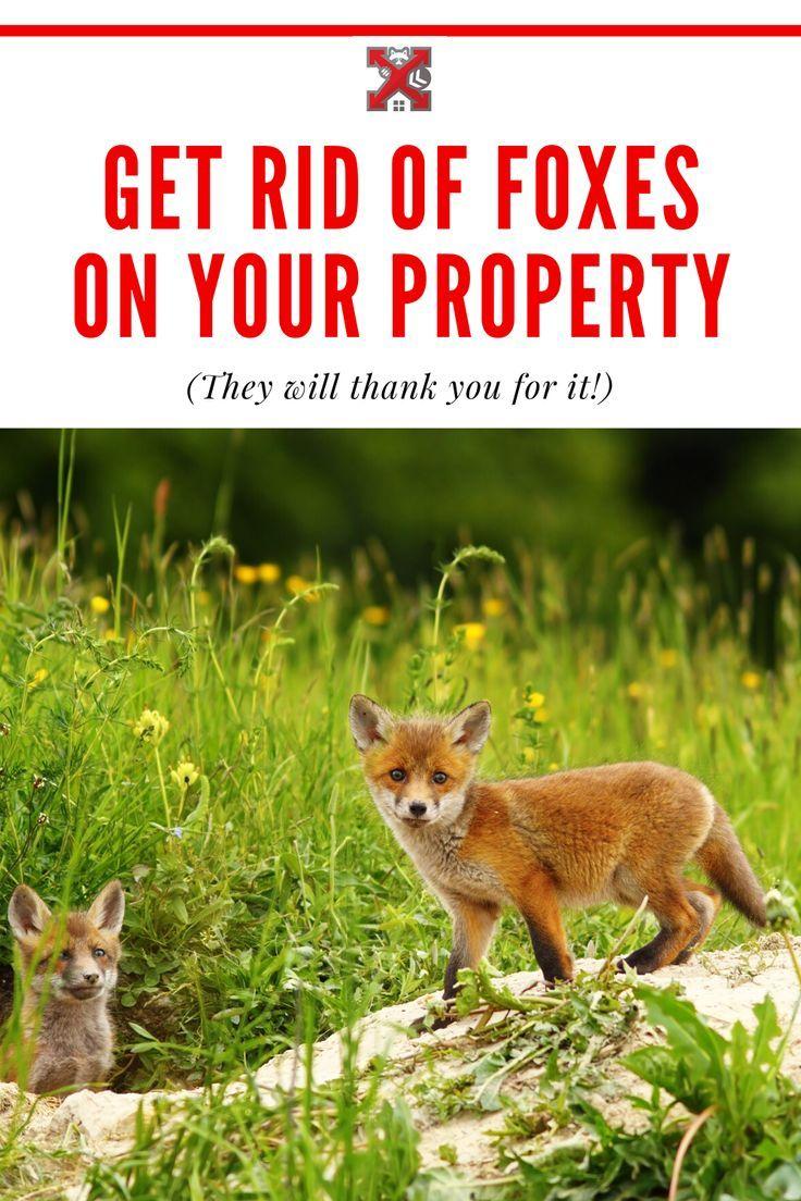 Humane Fox Removal Service Fox Animals Wildlife Animals