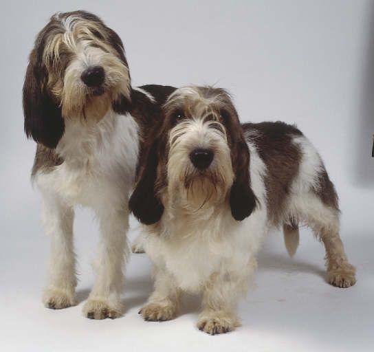 Cães de raça griffon, como a cadelinha que Maria Eduarda leva quando Carlos a vê pela primeira vez, decerto da variedade brasileira.