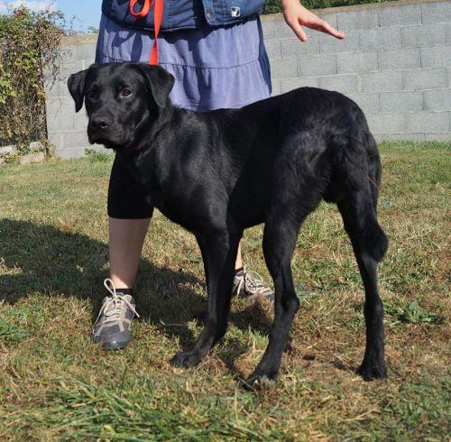Pluton Né le 30 septembre 2013 Type : Labrador Sexe : Mâle Age : Junior Taille : Moyen Lieu : Vendée - 85 (Pays de la Loire) Refuge : REFUGE SPA DE LA ROCHE SUR YON (Vendée) Tél : 02 51 05 41 01