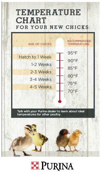 Chick Tip: Adjust temperatures as chicks grow.   Hang a heat lamp in the center of a brooder, about 20 inches above the litter, with 2.5 - 3 feet between the lamp and the guard walls. The temperature under the heat lamp should be 95 degrees Fahrenheit and adequate room in the brooder should be available for the chicks to get out from under the heater if they get too hot. After week one, gradually reduce heat by 5 degrees Fahrenheit each week until reaching a minimum of 55 degrees.