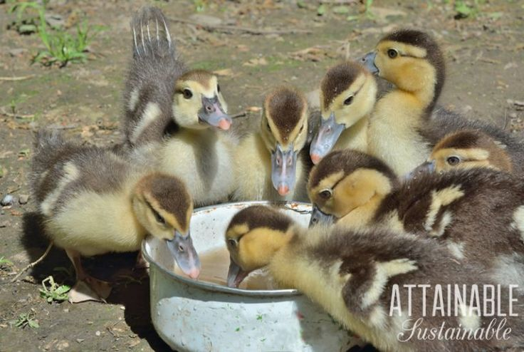 Getting started with ducks on the homestead is easy, really. Here, what to feed ducks and ducklings, along with some other pertinent information.