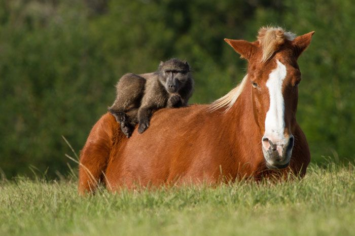 Three horses that used to pull carts filled with firewood for a Kurland township resident, near Plettenberg Bay, are fondly referred to as the Monkeyland horses because they have lived on the sanctuary property for many years – by choice.