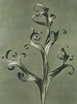 "Delphinium by Karl Blossfeldt. 	  	  ""The plant never lapses into mere arid functionalism; it fashions and shapes according to logic and suitability, and with its primeval force compels everything to attain the highest artistic form."" - Karl Blossfeldt"