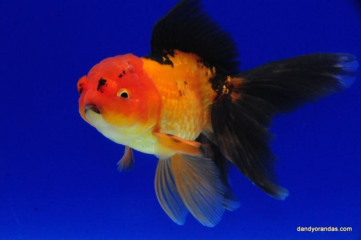 Red black pompom oranda 6 inches for Koi fish life span