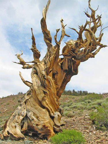 Картинки по запросу oldest tree in the world