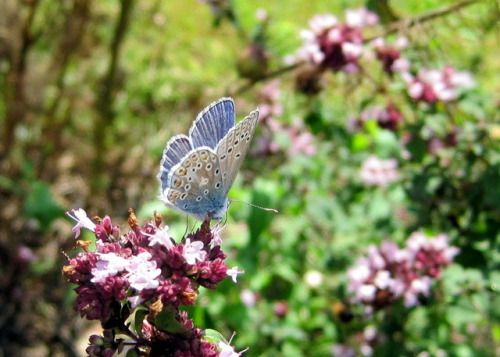 "english-idylls:  ""Common Blue Butterfly on Marjoram by Simon's Allotment.  """