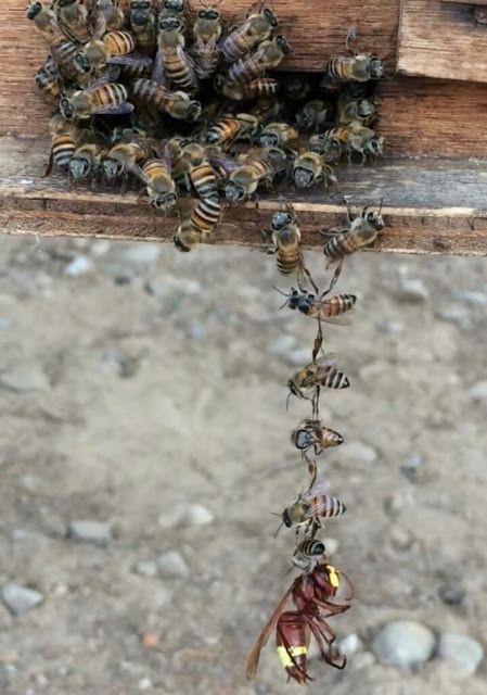 La Familia de la Apicultura - The Beekeeping of Family: ABEJAS ELIMINANDO AVISPA - ELIMINATING BEES WASP.
