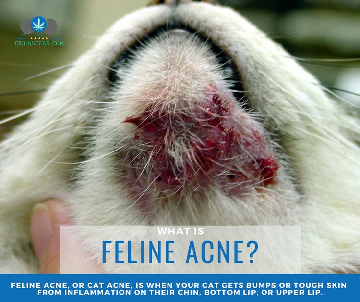 Cbd For Cat Acne Chin Acne Treatment Ringworm In Cats Cat Health