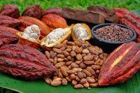 Cacaobonen - genieten van chocola in de meest pure vorm
