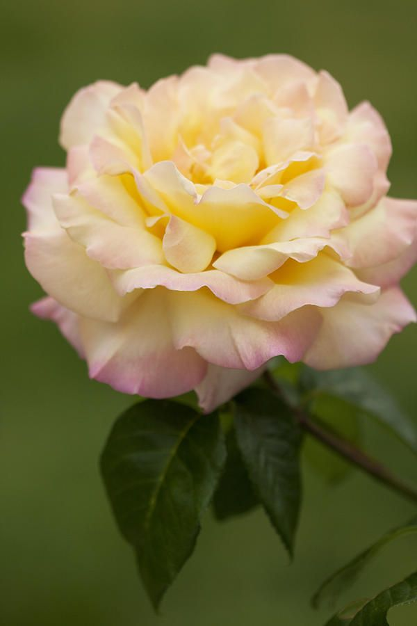 Peace Hybrid Tea rose introduced 1945 is probably the most popular garden rose ever in the US.