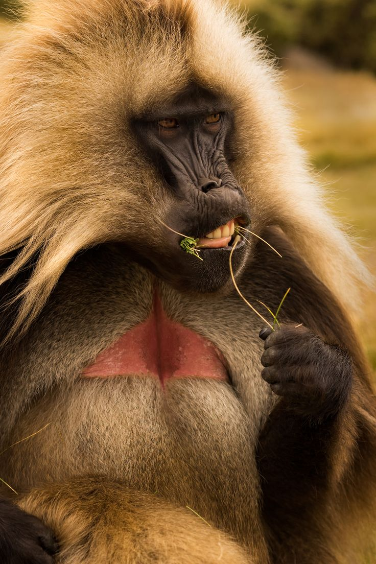 King of the mountains. The gelada baboon in #Ethiopia. #travel #pod #photog #animals #photo