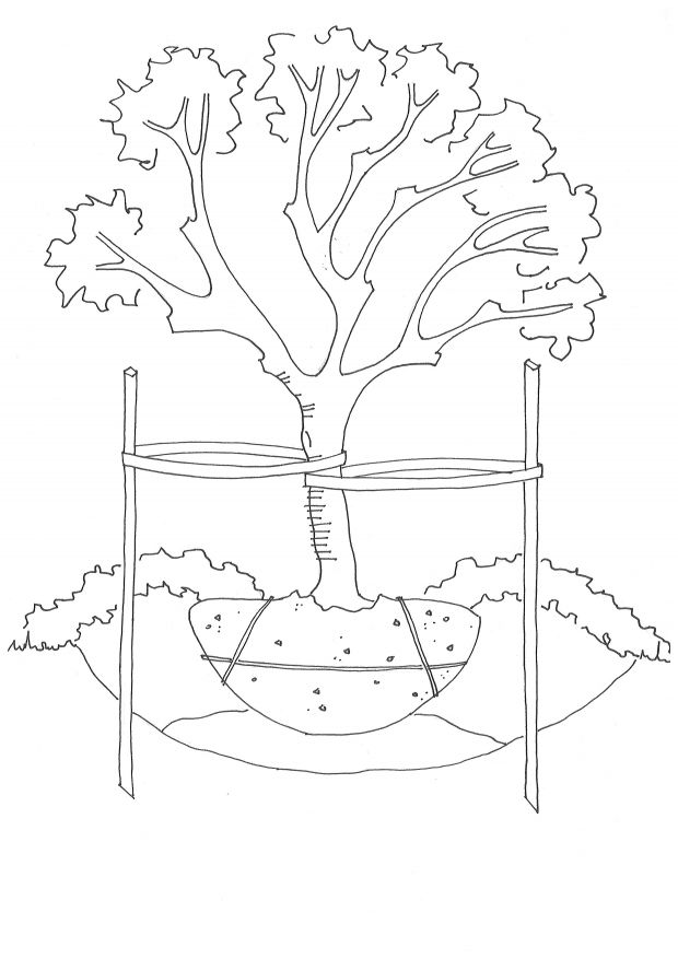 Transplanting Fruit Trees