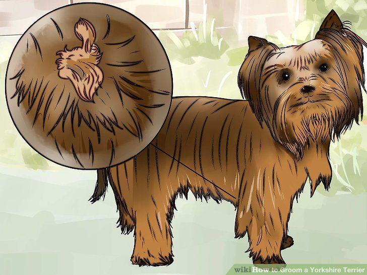 How to groom a yorkshire terrier with pictures