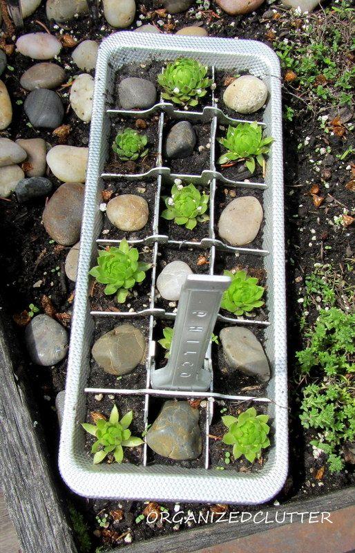 Hen & Chicks or Sempervivum are hardy little perennial succulents… :: Hometalk