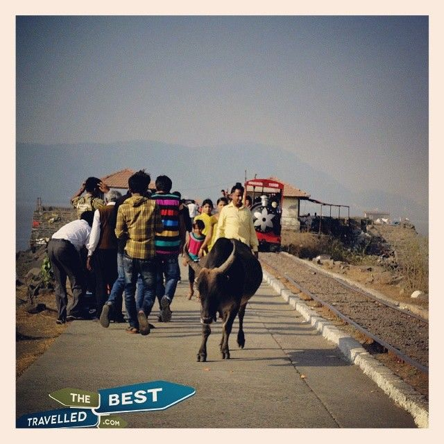 #bull #free #walk #train #tracks #Elephanta #island #Mumbai #Maharashtra #India #visit #explore #travel #Asia #culture