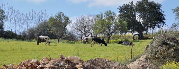 Eigene Kühe und Schweine sind der natürliche Düngerlieferant auf der Finca Sa Teulera. Denn nur wer weiß was verfüttert wird, weiß auch was später auf dem Feld landet.