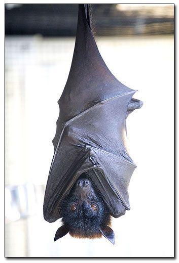 sleepyFly Foxes, Bats Cat, Beautiful Bats, Batty Friends, Chauve Souris, Fruit Bats, Amazing Wild, Black Cat, Animal
