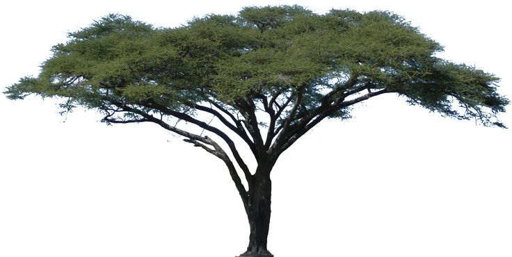 Acacia Tree Vector Africa Camel Thorn Tree