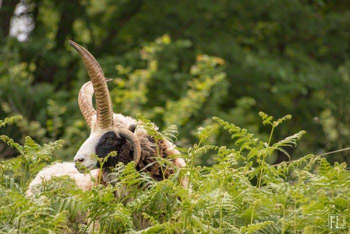 Domaine du Martinaa : Elevage, Gourmandise, Jardinage et Partage: Mouton Jacob Normandie