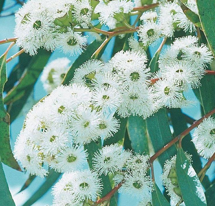 Snow Gum flowers