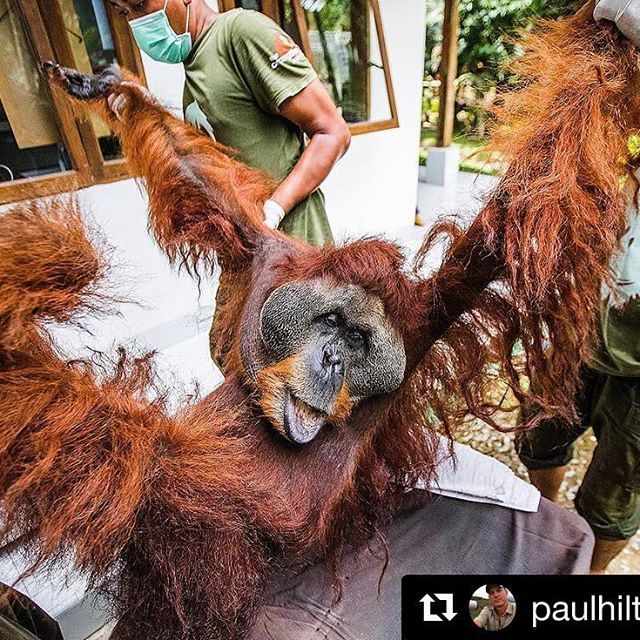"#Repost @paulhiltonphoto ・・・ Another orangutan is down, due to habitat destruction and conflict palm oil expansion, join us. People power matters!! Join the GeRAM Action Week! Follow these five easy guidelines: 1) Copy the slogan: ""I stand with #GeRAM to #SaveLeuserEcosystem"" on a piece of paper  2) Take a selfie holding the poster (anywhere... try in front of a tree, with your pet, with your friends) 3) Post your photo on social media (Facebook, Twitter, Instagram) with the following post…"
