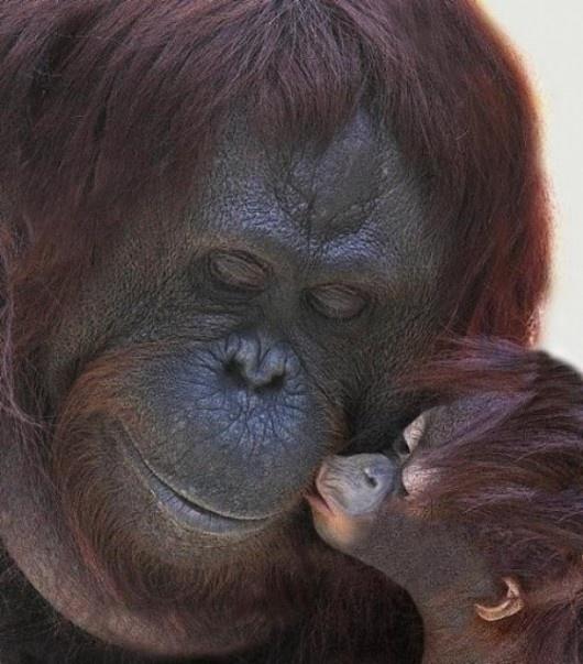 The orangutan mother and child kiss.