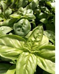 Here's our list of easy to grow and must haves in the modern home chef's garden #FoodGardening