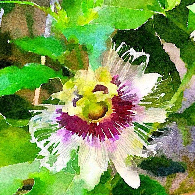 """""""Painted in #Waterlogue #Waterlogueapp #watercolour #beauty #flowers #picoftheday #nature"""" Photo taken by @glendapix on Instagram, pinned via the InstaPin iOS App! http://www.instapinapp.com (04/17/2015)"""