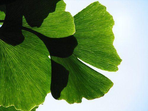 Ginko biloba gyógynövény serkenti az agy működését!