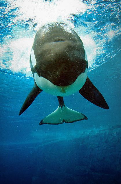 Orca whale by ~edgeOfallthings