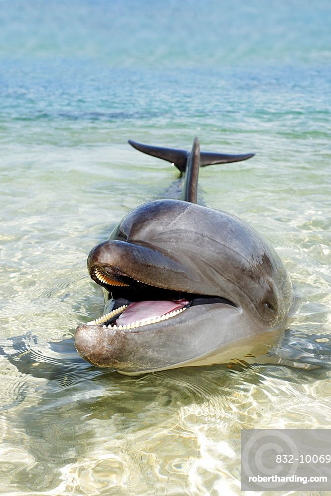 Bottlenose Dolphin (Tursiops truncatus), shallow water, Ocean Adventure, Subic Bay, Luzon, Philippines, South China Sea, Pacific