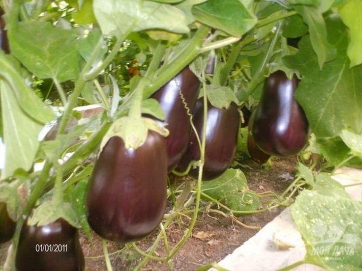 КАК ВЫРАЩИВАЮТ БАКЛАЖАНЫ УМНИКИ!)))) РЕЗУЛЬТАТЫ ОТМЕННЫЕ   Дачный сад и огород