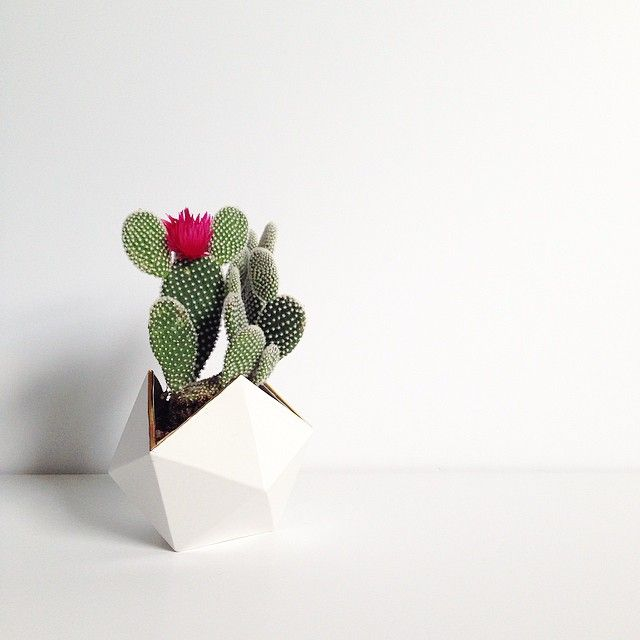 Best Succulents Images On Pinterest Plants Cactus Plants - Japan is going mad over these tiny succulents that look like bunny ears