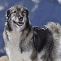 Carpathian Shepherd dog photo   Dog breeds - list of all dog breeds