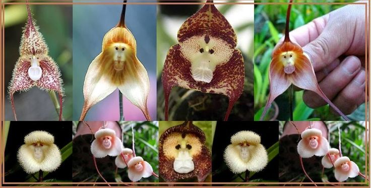 45 PCS FRESH Monkey Face MIX COLOR Orchid  Flower Seeds*UK SELLER* *BUY TWO-GET ONE FREE* (BUY FOUR-TO GET TWO FREE*)