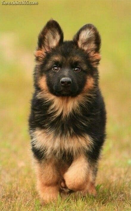Stunning German Shepherd puppies that are immediately crowded to do – dog breed – #streating #the #dog breed # German Shepherd puppy …