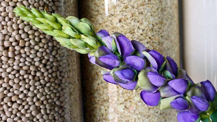 Die Samen der Süßlupine enthalten bis zu 48 Prozent Eiweiß und können damit problemlos Soja den Rang ablaufen. Außerdem wächst die Pflanze auf heimischem Grund.