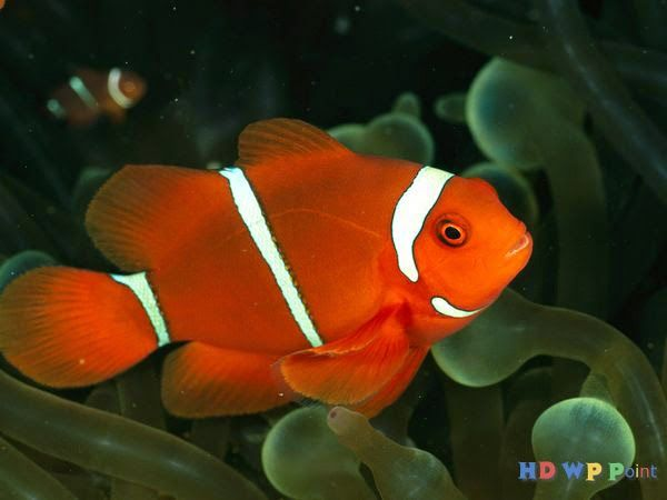 Beautiful Fish ~ HD Wallpapers Point