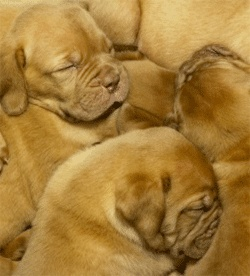 Puppy Development: Stage 3 | Dog Whisperer Cesar Millan
