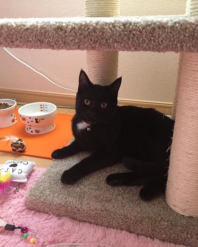 11月1日偶然にも「紅茶の日」と呼ばれる日に新しい家族を迎え入れた日だった。その時の写真である。最初は猫カバンの中からまん丸になって私の様子を見てたけど、数時間経ったらべったりちゃん。珍しい黒スコティッシュフォールドちゃん。今はすっかりうちの子。新居で床暖房がお気にの様子🐱されるがままのおっとり猫ちゃん。でも主張も欠かせないよく話す子。しかし、悪さは全くしないお利口さん。 ・ ・ #黒猫 #猫 #愛猫 #猫ちゃん #可愛い #スコティッシュフォールド #スコティッシュ立ち耳 #大人しい #おっとり #キャット #子猫 #5ヶ月 #cat #blackcat #goldeye #scottishfold #cute #calm #kitty #mycat