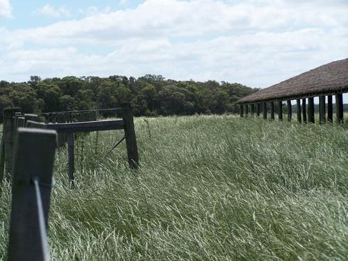 Rye Grass seed field