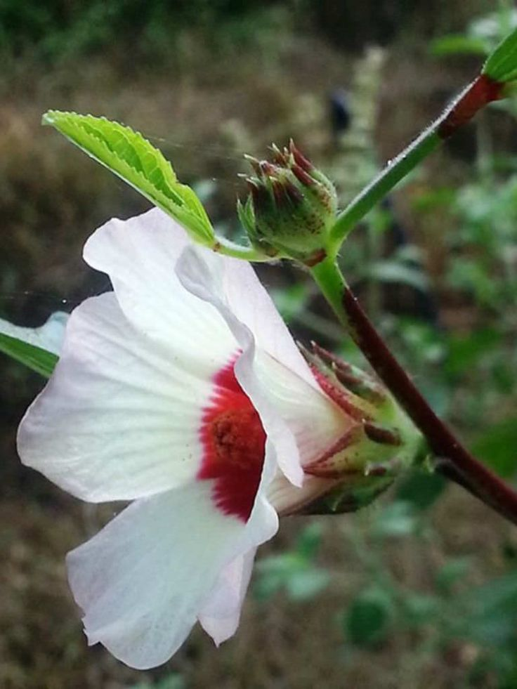 Hibiscus sabdariffa (Roselle) is an annual or perennial herb or woody-based subshrub, growing up to 8 feet (2.4 m) tall. The leaves are...